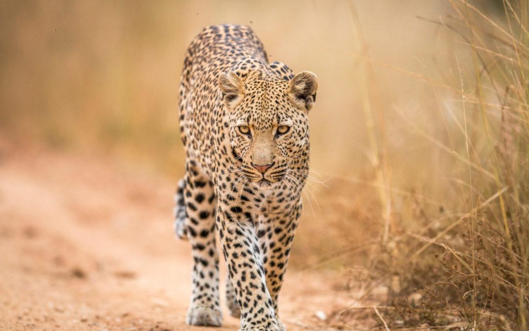 Sei ein Leopard, keine Katze